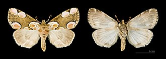 Peach blossom - Image: Thyatira batis MHNT.CUT.2012.0.356. Female Gières