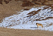 Photograph of a wolf standing on snowy ground