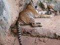 Tiger 4539.jpg