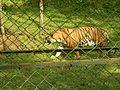Tiger Sanjay Gandhi National Park.jpg