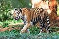 Tiger kaveri.JPG