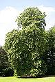 Tilia petiolaris JPG1Aa.jpg