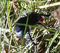 Timarcha tenebricosa -crache-sang- 20070805 - col du chatoux.JPG