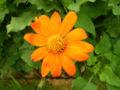 Tithonia rotundifolia 'Fiesta Del Sol' Flower and Leaves 1600px.jpg
