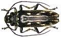 Tmesisternopsis pauli Heller, 1897 (3575664741).jpg