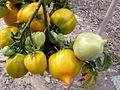 Tomate AnnaHermann P1020423.JPG