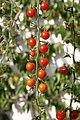 Tomato vine.jpg
