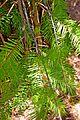 Torreya californica in Jardin des Plantes de Toulouse 01.jpg
