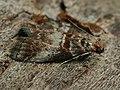 Trachycera advenella (26352757037).jpg