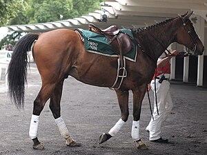 Polo wraps - A horse wearing white polo wraps
