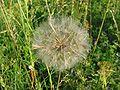 Tragopogon pratensis.jpeg