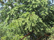 Tree PAALAI (grown).JPG
