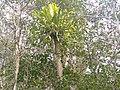 Trees of Sundarban.jpg