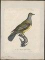 Treron abyssinica - 1825-1834 - Print - Iconographia Zoologica - Special Collections University of Amsterdam - UBA01 IZ15600037.tif