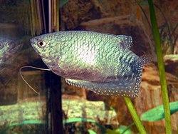 Gourami bleu(Trichogaster trichopterus)