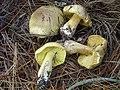 Tricholoma auratum.jpg