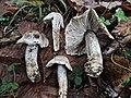 Tricholoma bresadolanum Clémençon 305226.jpg