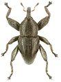 Trigonopterus lineellus holotype - ZooKeys-280-001-g048.jpg