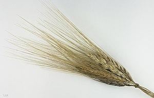 Khorasan wheat - Triticum turgidum subsp. turanicum - MHNT