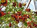 Tropaeolum tricolorum Sw. (Tropaeolaceae) flowers.jpg