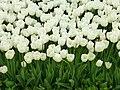 Tulip 1300253.jpg