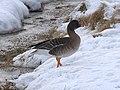 Tundra Bean Goose (Anser serrirostris), Baltasound - geograph.org.uk - 1725779.jpg