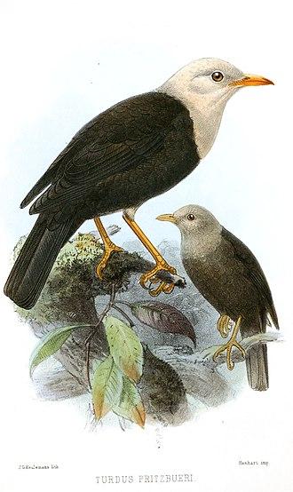 Island thrush - The possibly extinct Turdus poliocephalus pritzbueri