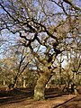 Twisted oak in Matley Wood, New Forest - geograph.org.uk - 116390.jpg