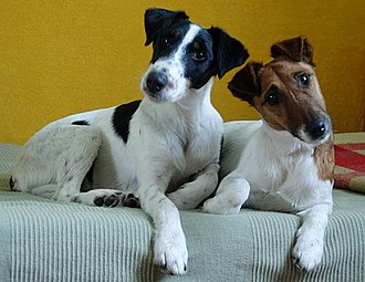 Fox Terrier - Two Smooth Fox Terriers showing the difference in breed markings