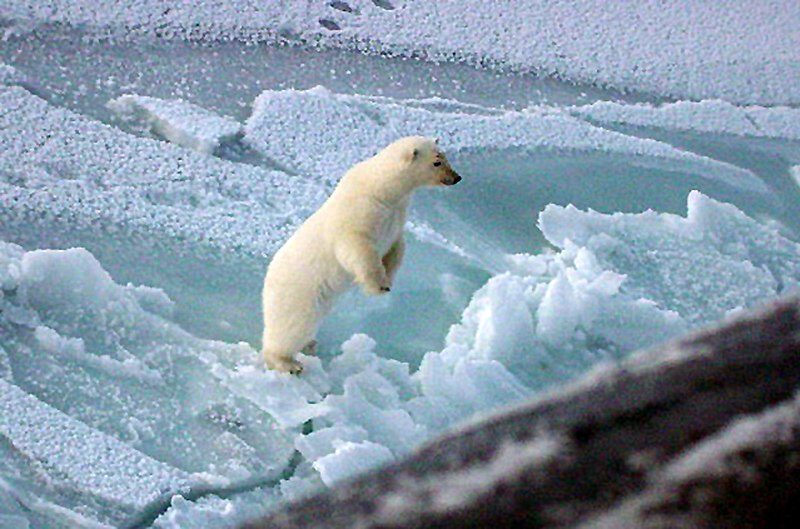 File:US Navy 031000-N-XXXXB-003 A young Polar bear stands up to get a better look at the Los Angeles-class fast attack submarine USS Honolulu (SSN 718) while surfaced 280 miles from the North Pole.jpg