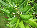 Unidentified Plants from Kerala 2016-01-28.JPG