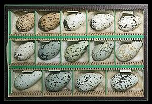 Bird egg - Guillemot eggs