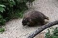 Urson Erethizon dorsatum Tiergarten Schönbrunn Wien 2014 a.jpg