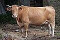 Vaca rubia en Cumbraos - Mesía - Galiza.jpg