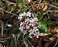 Valeriana tripteris PID1796-2.jpg