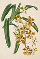 Vanda insignis - Warner, Williams - Select orch. plants 1, pl. 3 (1862-1865).jpg