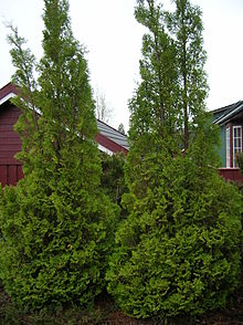 Austamerikansk tuja (Thuja occidentalis)