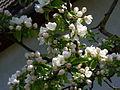 Vargata-Csikfalva - spring flowers - panoramio - jeffwarder (3).jpg