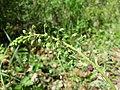 Verbascum phoeniceum sl26.jpg