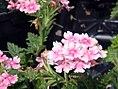 Verbena canadensis Apple Blossom 1zz.jpg