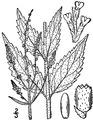 Verbena urticifolia L. White vervain.tiff