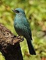 Verditer Flycatcher Eumyias thalassinus by Dr. Raju Kasambe DSCN2658 (2).jpg