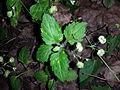 Veronica montana sl1.jpg