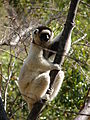 Verreauxs Sifaka , Isalo National Park (3953334823).jpg