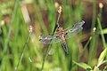 Vierfleck Libellula quadrimaculata 6395.jpg