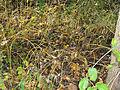 Vincetoxicum rossicum SCA-05083.jpg