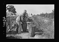 Vintage activities at Richon-le-Zion, Aug. 1939. Collecting grapes in large baskets, ready for transport to the cellars LOC matpc.19768.jpg