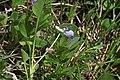 Viola adunca 2801 - Flickr - Andrey Zharkikh.jpg