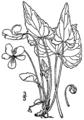 Viola novae-angliae BB-1913.png