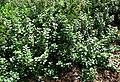 Vitex trifolia subsp. litoralis (5188563094).jpg